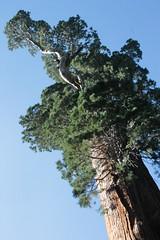 The General Grant Sequoia