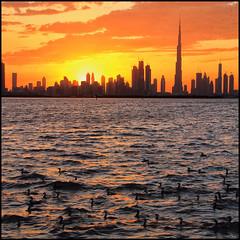 Cormorants in Dubai (explored)