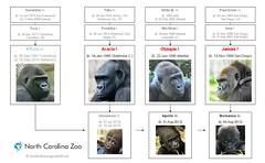 Gorilla Family - Asheboro