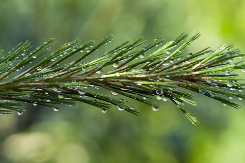 PINE WITH DEW DROPS fl 497