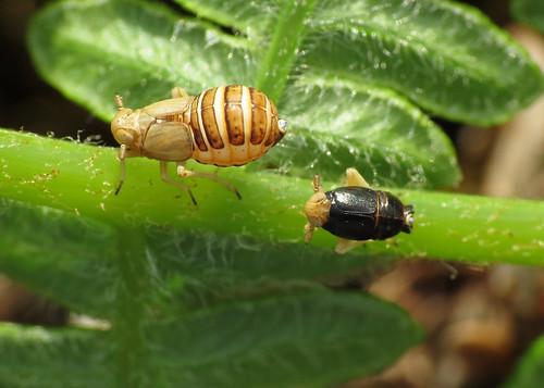 Planthopper - Ditropis pteridis (♂ & ♀)