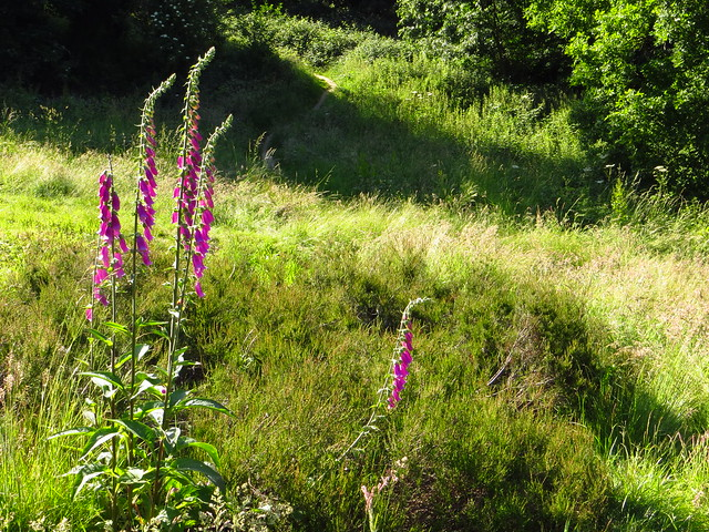 Foxgloves at the Vale of Health