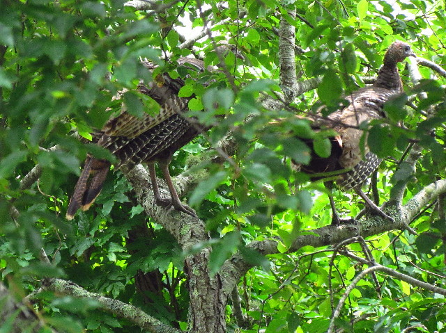 Turkeys in tree 7:10:13