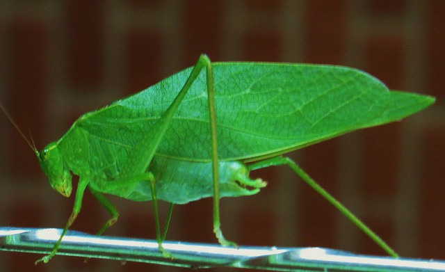 green leaf like bug flickr photo sharing. Black Bedroom Furniture Sets. Home Design Ideas