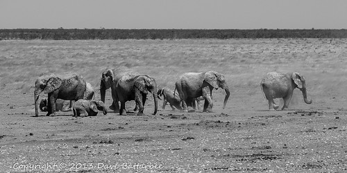 Elephants 'Dusting' (mono)