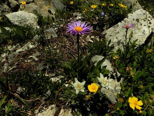 Aster alpinus + Leontopodium alpinum=Aster des Alpes et Edelweiss