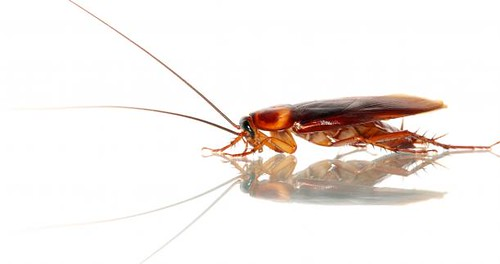 cockroach roach
