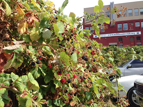 Places to eat in Seattle - A giant blackberry bush!