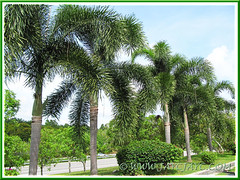 Wodyetia bifurcada (Foxtail Palm), lining the median strip