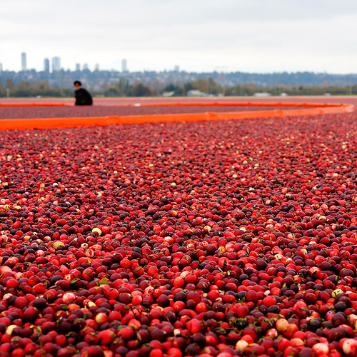 Sea of Cranberries