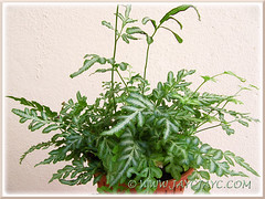 Pteris Ensiformis 'Evergemiensis' (Silver Lace Fern), joined our garden collection on Oct 18 2013