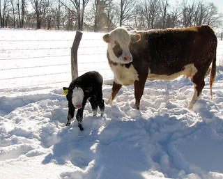 Picture of a cow and calf in the snow
