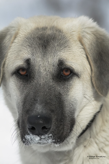 Anatolian Shepherd Dog Pictures and Informations - Dog ...