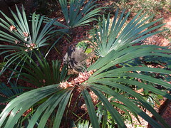 date palm(0.0), agave(0.0), flower(0.0), ti plant(0.0), agave azul(0.0), arecales(1.0), leaf(1.0), tree(1.0), plant(1.0), flora(1.0), saw palmetto(1.0),