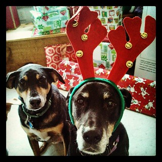 Lola's turn for the antlers! #dogstagram #dobermanmix #coonhoundmix