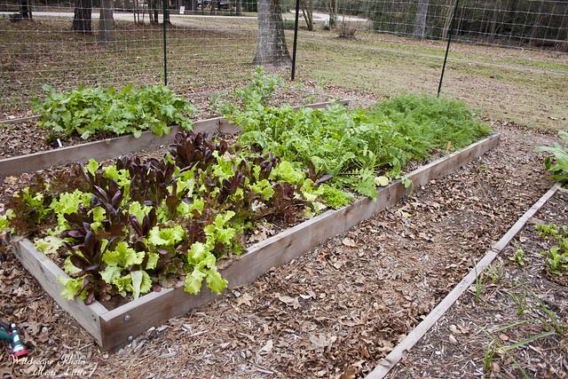 lettucecarrots