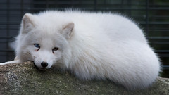 Arctic fox / Polarfuchs (2)