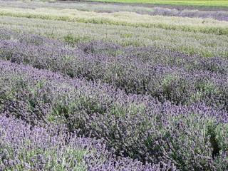 WHB#46 Lavendelfeld 002