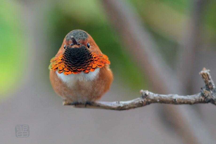 Allen's Hummingbird 020414