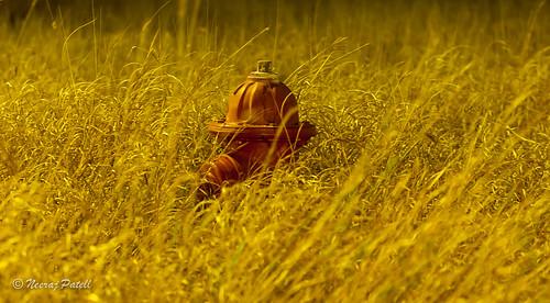 california grass iso100 nikon dusk firehydrant manualfocus d90 manualexposure usatexas 7002000mmf28vrii