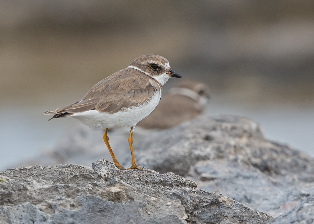 Semipalmated Plover 2014-02-04