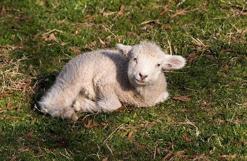 Colonial Williamsburg, newborn lamb.  He was most interested in looking at my camera lens