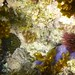 Common Reef Anemones (Green & Brown)