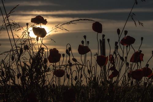 city flower macro canon germany geotagged deutschland eos sonnenuntergang sundown blumen magdeburg stadt poppy makro silhouttes mohn 2014 saxonyanhalt sachsenanhalt canoneos650d geo:lon=11619206 geo:lat=52076109