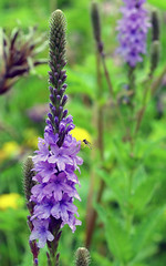 hyssopus, flower, plant, lavender, wildflower, flora,