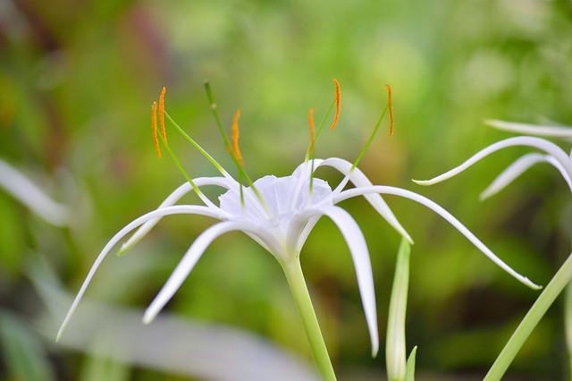 スパイダーリリー Spider lily