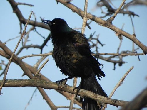Grackle at Montrose Point Bird Sanctuary--© Richard Pallardy