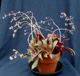 Crassula orbicularis 'Rosularis' 8836641491_5048092eb6_n