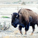 Small photo of American Bison, aka Buffalo