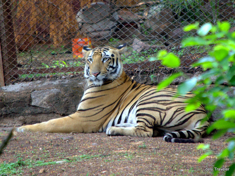 Royal Bengal Tiger resting in shade