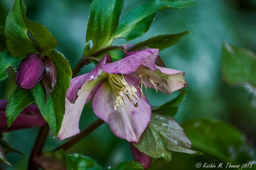 Helleborus (Winter Rose)
