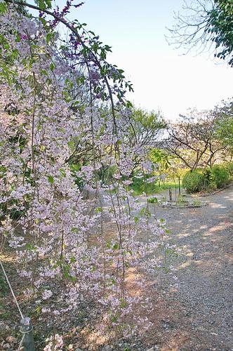 【写真】2013 桜 : 梅宮大社/2019-06-14/IMGP0220