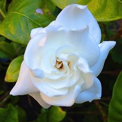 garden roses, floribunda, flower, flora, gardenia, petal,