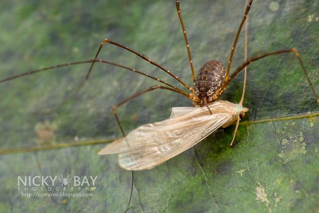 Harvestman (Opiliones) - DSC_1538