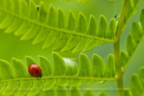 Ladybug Fern