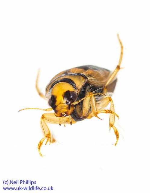 Screech or squeek beetle Hygrobia hermanni-2