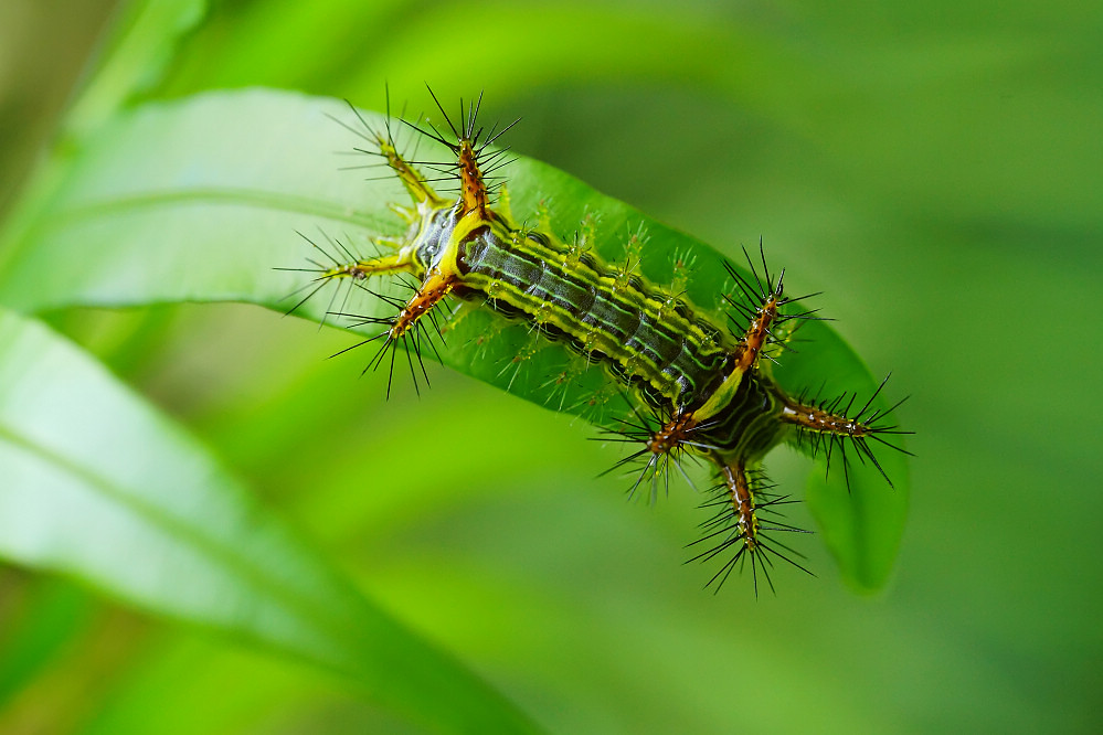梨刺蛾-5
