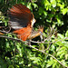 Small photo of Hoatzin - living fossil bird