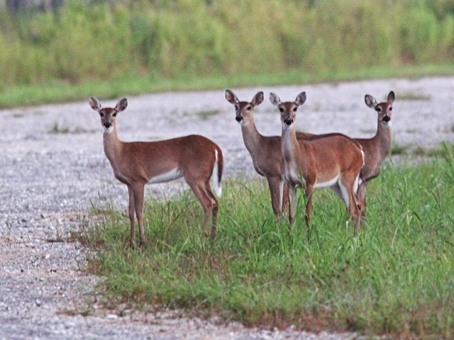 White-tailed Deer doe and yearlings 2-20131015