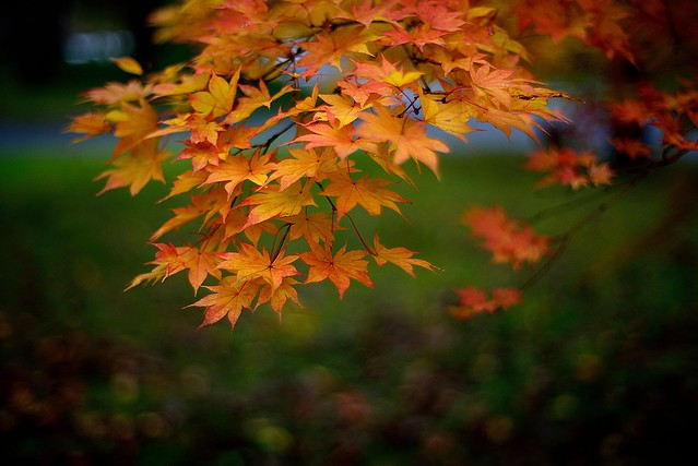 Maple leaves @ 奧入瀨 Oirase Keiryu Hotel