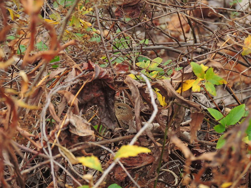 Can you see the Winter Wren?