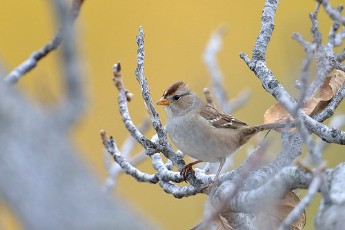 White Crowned Sparrow (Immature)