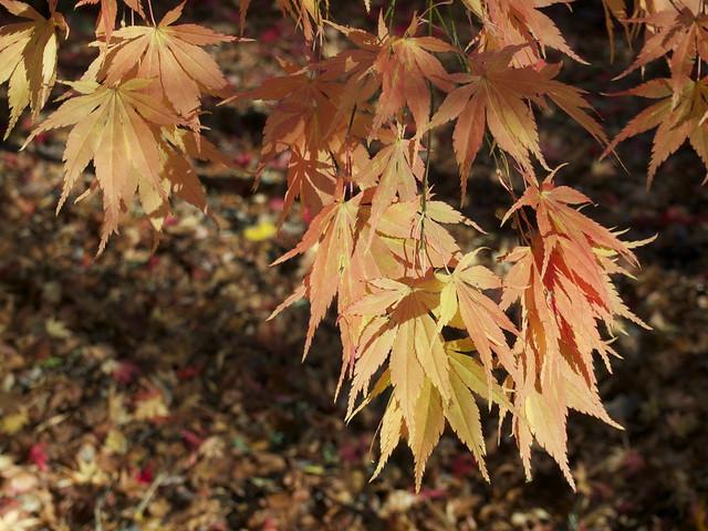 Acer palmatum s. amoenum