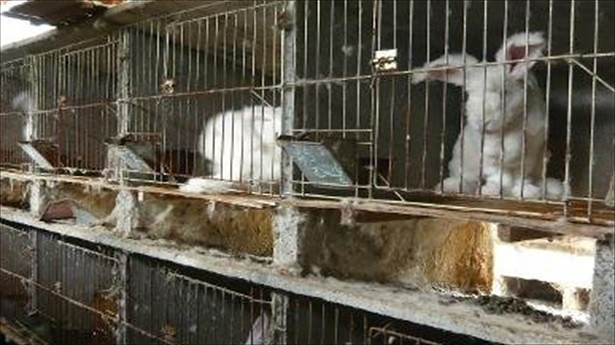 Undated-handout-image-received-on-Nov.-20-2013-from-animal-rights-group-PETA-People-for-the-Ethical-Treatment-of-Animals-and-taken-at-an-undisclosed-location-in-China-shows-angora-rabbits-in-cages.-AFP