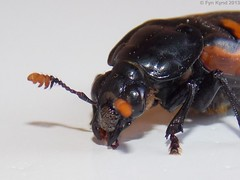 japanese rhinoceros beetle(0.0), hornet(0.0), arthropod(1.0), animal(1.0), invertebrate(1.0), insect(1.0), macro photography(1.0), fauna(1.0), close-up(1.0), beetle(1.0),