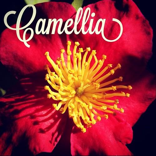 Garden Alphabet: Camellia | A Gardner's Notebook